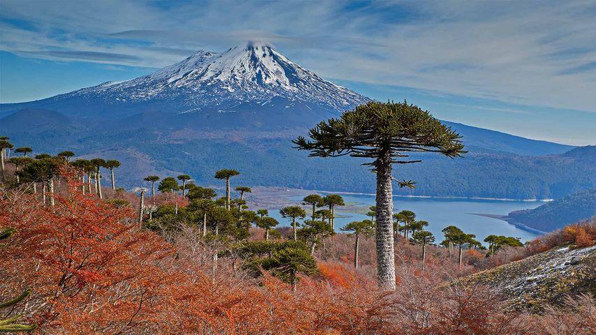 「ジャイマ山とアラウカリアの木」チリ, コンギジオ国立公園