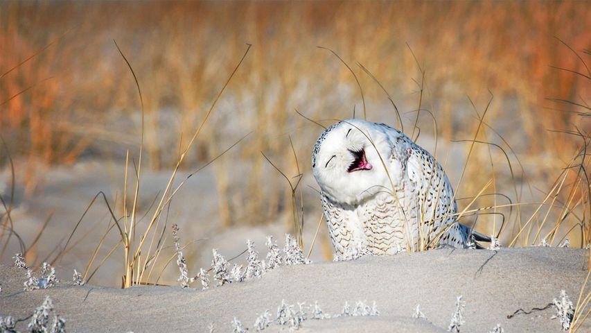 「笑顔のシロフクロウ」米国ニューヨーク州, ロングアイランド