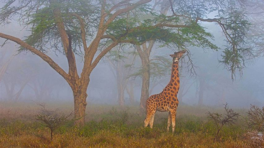 「ナクル湖国立公園のロスチャイルドキリン」ケニヤ