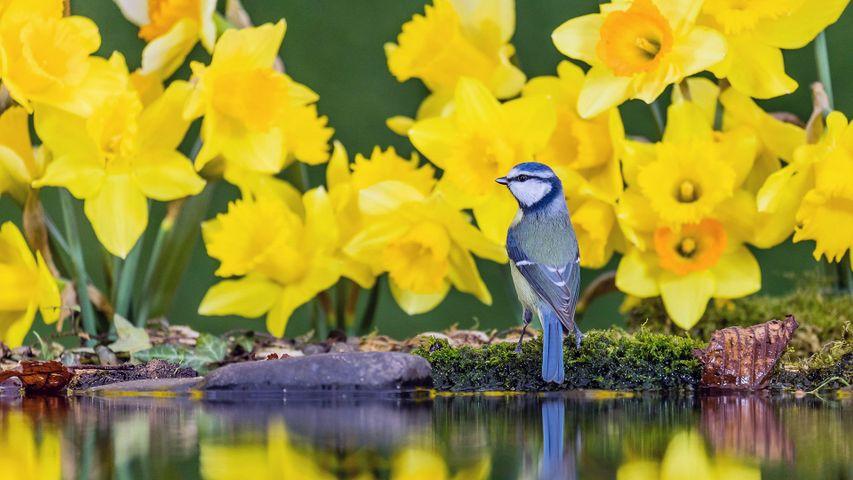 「スイセンと小鳥」英国, ウェールズ