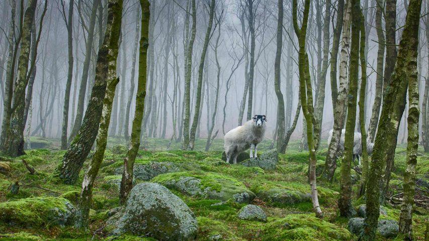 「ピーク・ディストリクト国立公園の羊」イングランド, ダービシャー