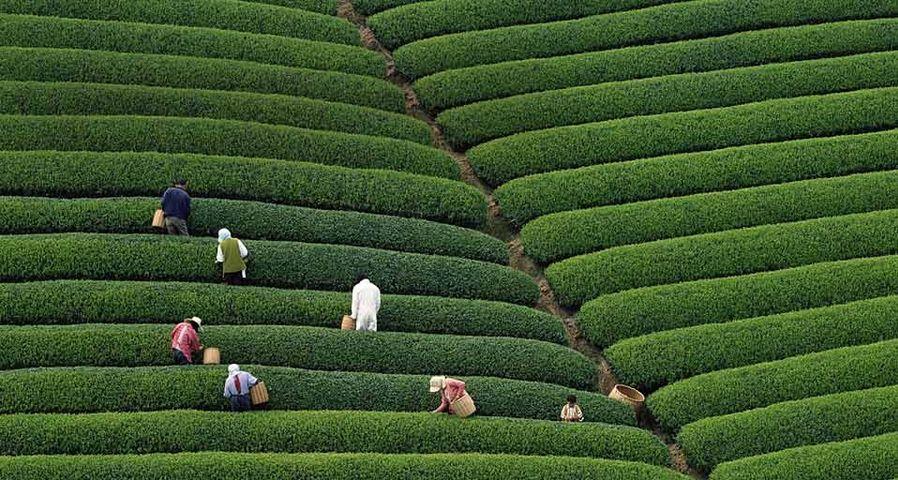 「段々畑の茶摘み」静岡