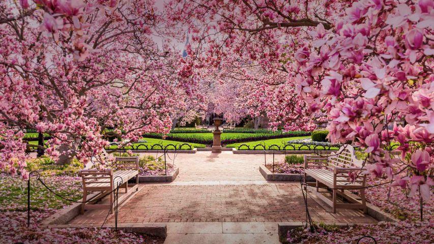 「ナショナル・モールの桜」アメリカ, ワシントンD.C.