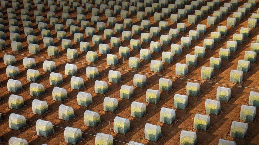 「菜種の隔離栽培」フランス, ロワール=エ=シェール県