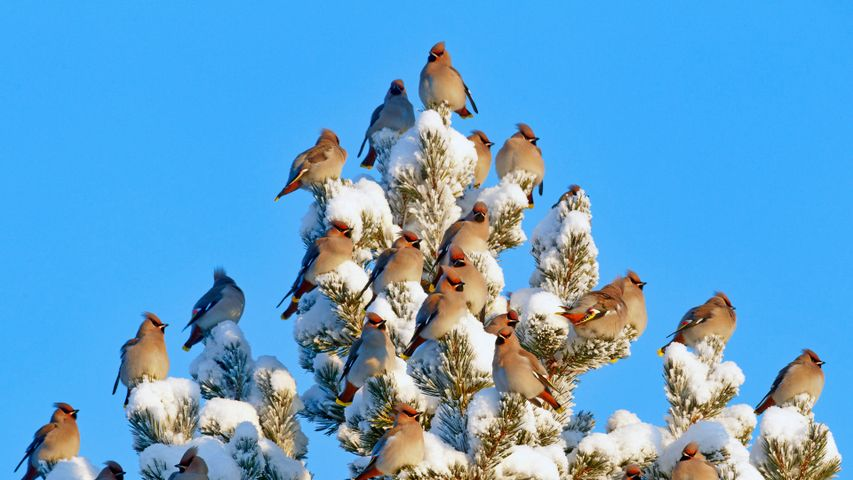 「キレンジャクの群れ」フィンランド, クーサモ