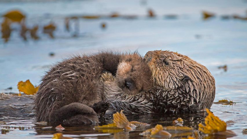 「親子ラッコ」米国カリフォルニア州, モントレー湾