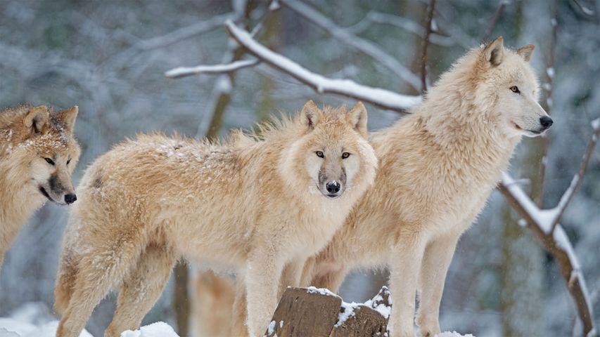 「ホッキョクオオカミの家族」カナダ