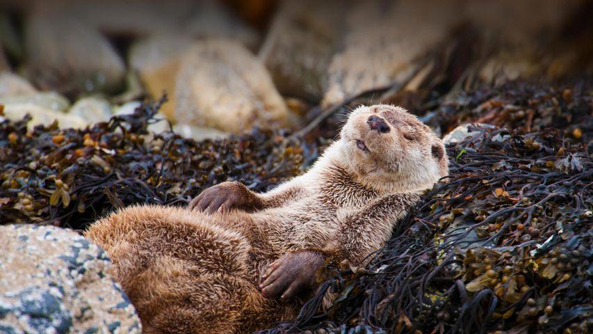 「昼寝をするユーラシアカワウソ」イギリス, スコットランド, シェトランド諸島