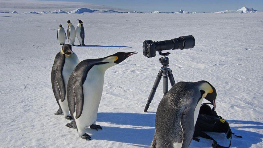 「カメラを覗き込むコウテイペンギン」