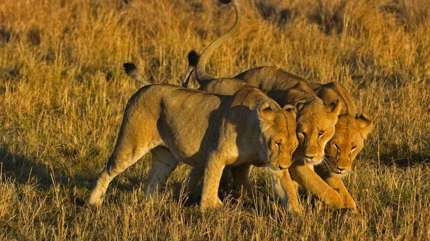 「メスライオン」アフリカ, ケニア