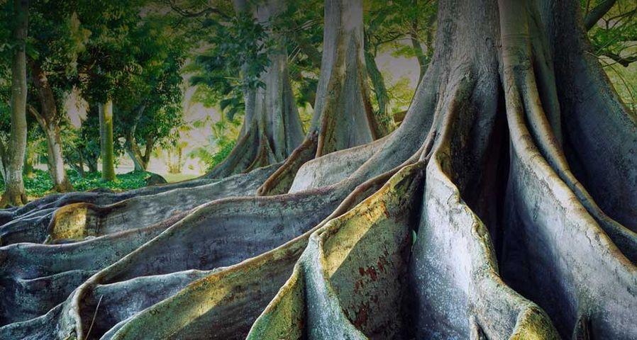 「巨大なイチジクの木」ハワイ, カウアイ島