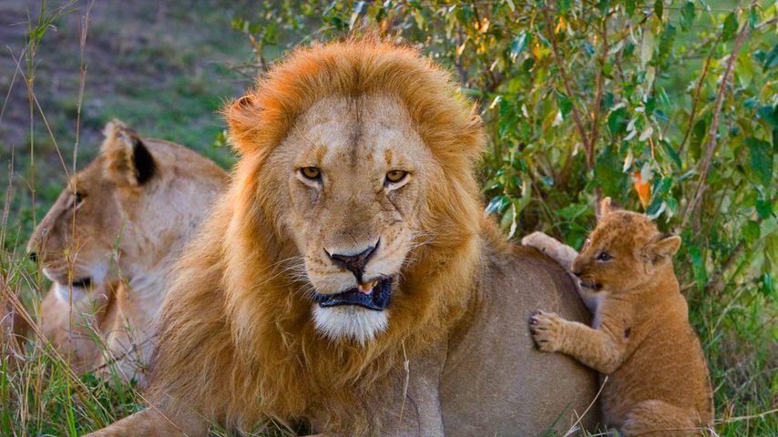 「ライオン親子」ケニア, マサイマラ国立保護区
