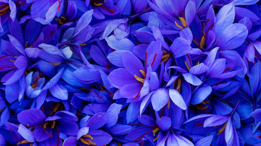 「サフランの花」スペイン, カタルーニャ州