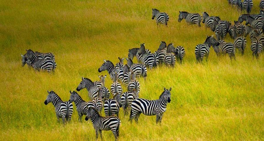 「シマウマの群れ」ケニア, マサイ・マラ国立保護区