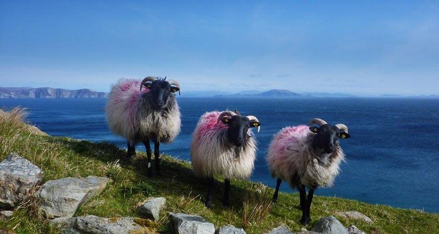 「アキル島の羊」アイルランド, メイヨー州