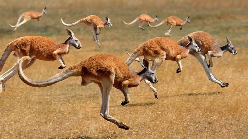 「アカカンガルーの群れ」オーストラリア