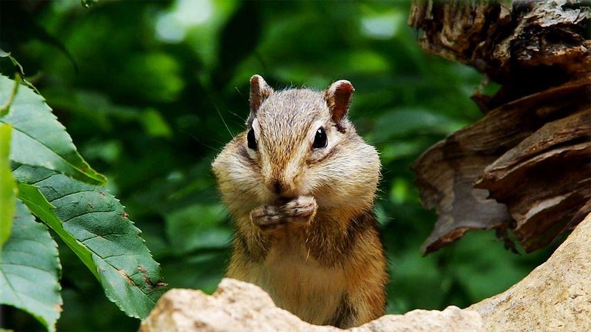 「ヒマワリの種を食べるエゾシマリス」北海道