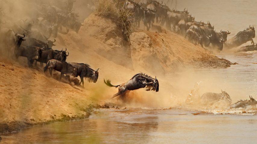 「ヌーのグレート・マイグレーション」ケニア,タンザニア, マラ川