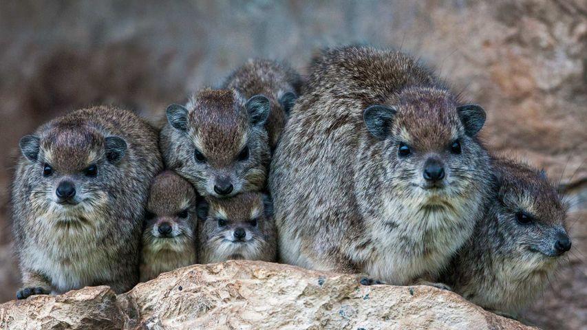 「ハイラックスの家族」ケニア, マサイマラ国立保護区