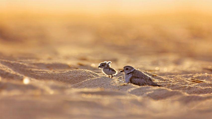 「フエコチドリの母子」米国ニューヨーク州, ジョーンズ・ビーチ