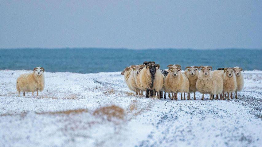 「アイスランディックシープの群れ」アイスランド