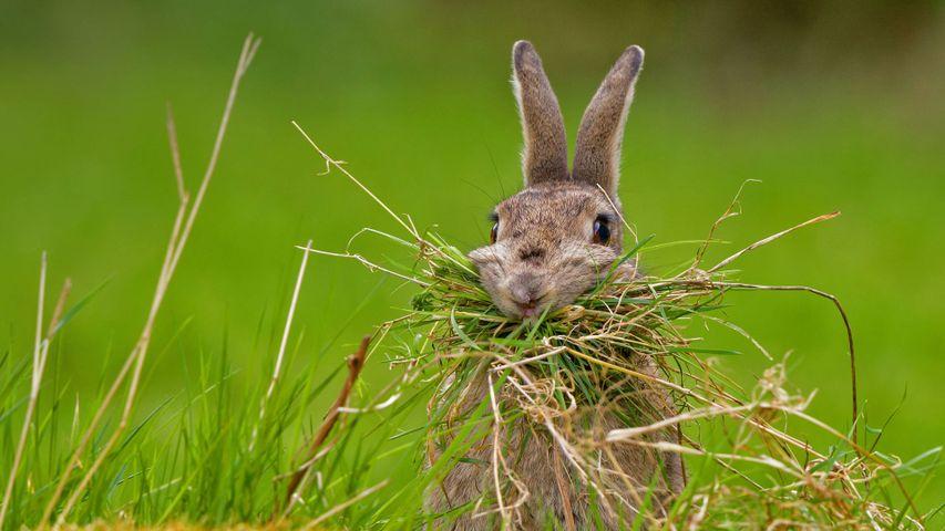 「巣作りをするウサギ」イギリス, シェフィールド