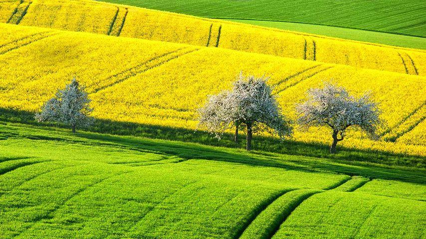 「菜の花畑」ドイツ