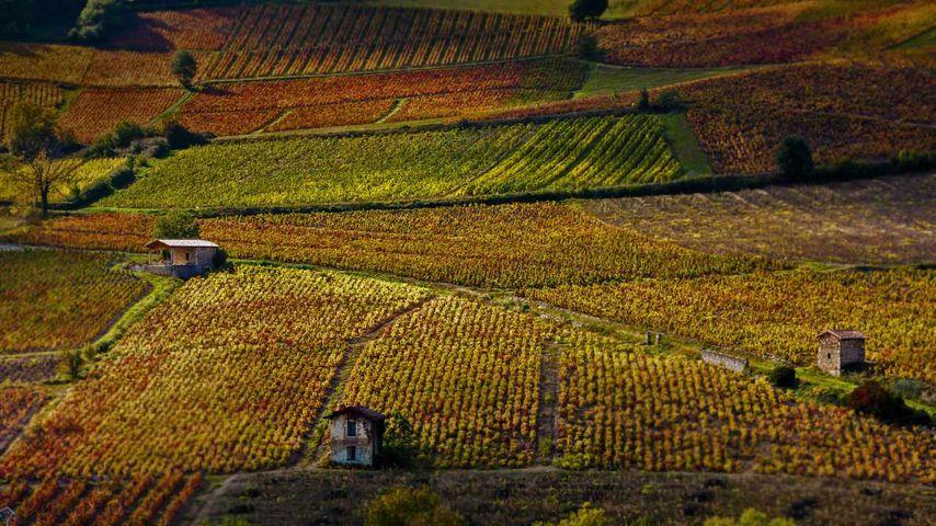 「ボジューのワイン園」フランス, ローヌ