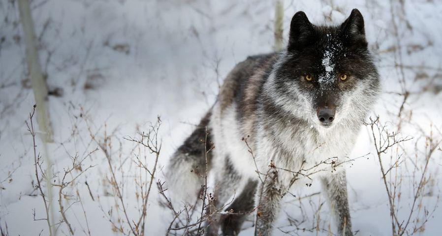 「雪の中のオオカミ」