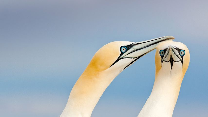 「シロカツオドリ」アイルランド, ソルティー諸島