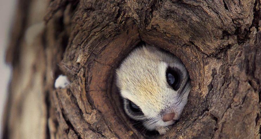 「木に隠れるモモンガ」