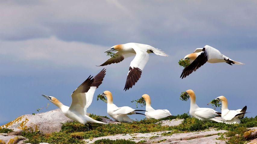「シロカツオドリ」アイルランド, グレートサルティー島