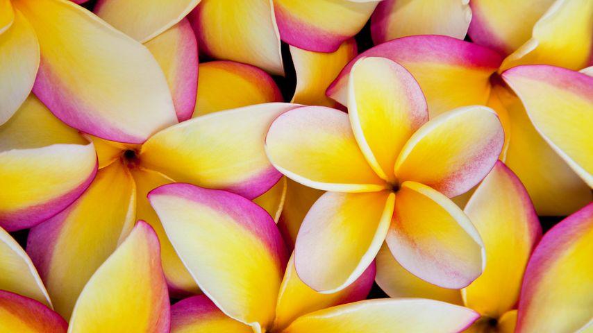 「プルメリアの花びら」