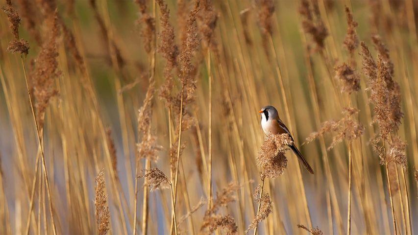 「ヒゲガラ」イギリス, エルムリー・ナショナル自然保護区