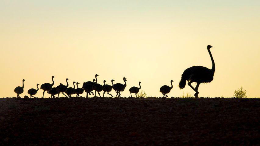 「ダチョウの親子」 南アフリカ, 西ケープ州
