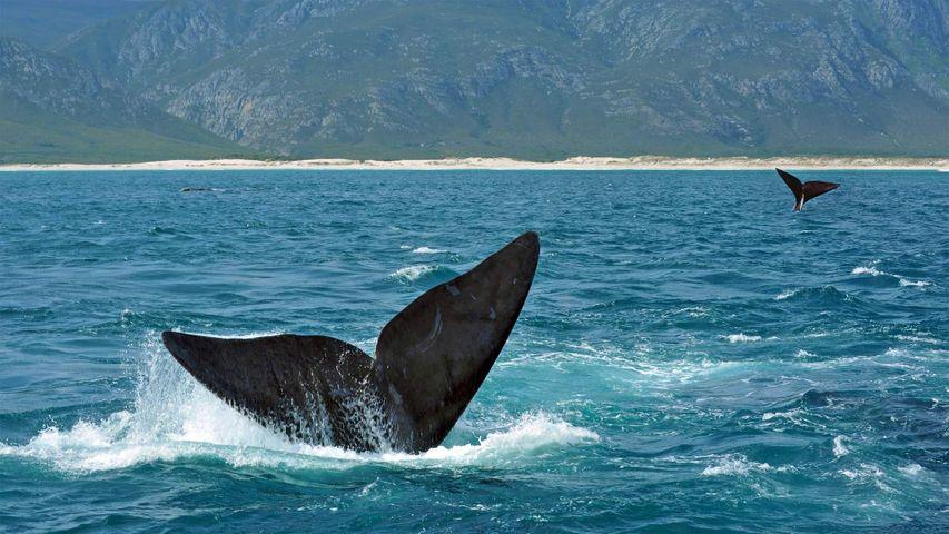 「ミナミセミクジラの尾びれ」南アフリカ, ヘルマナス沖