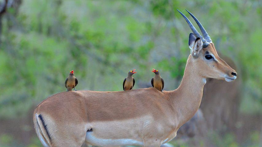 「インパラとウシツツキ」南アフリカ, クルーガー国立公園