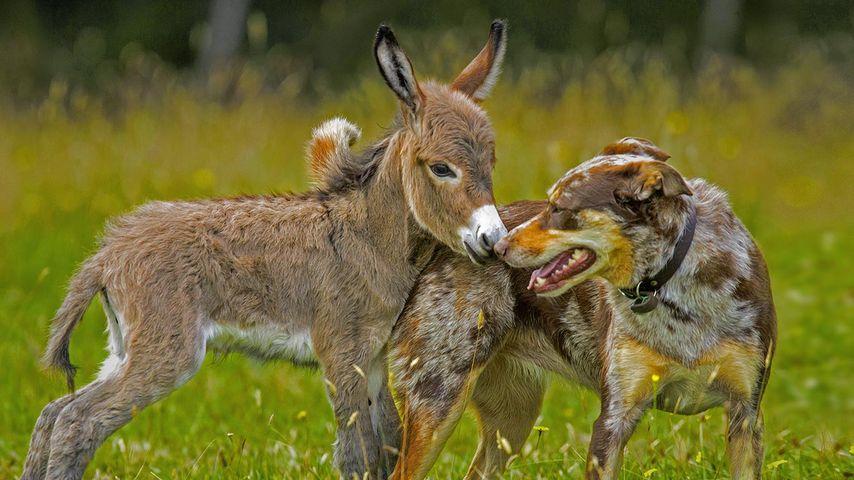 「ロバと犬の友だち」オーストラリア, メルボルン