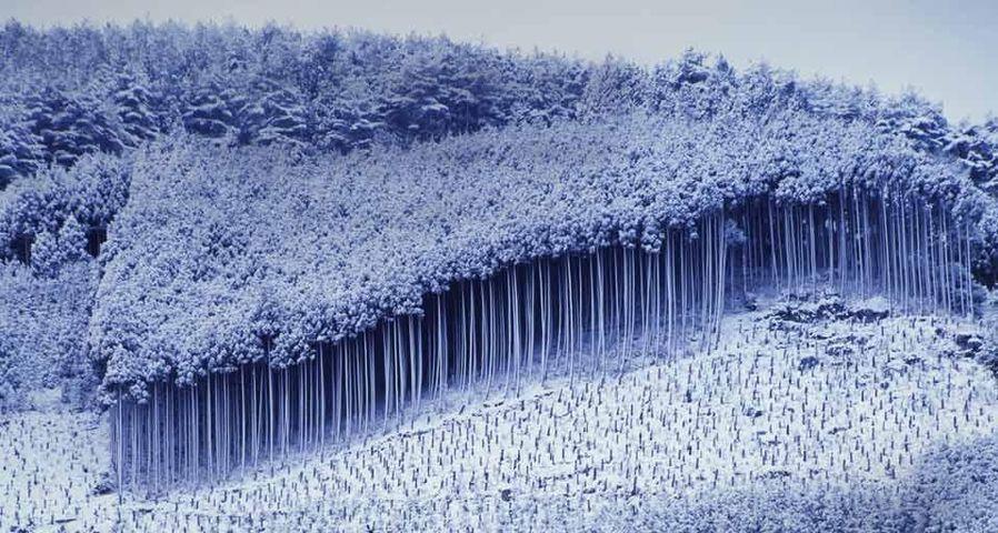 「北山の杉林」京都, 北区
