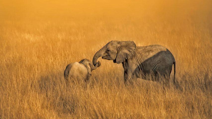 「仔ゾウと赤ちゃんゾウ」ケニア, アンボセリ国立公園