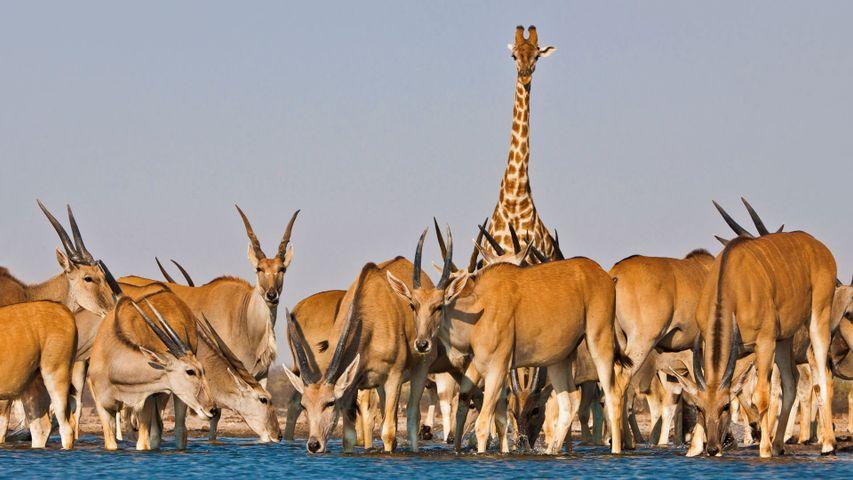 「エランドの群れとキリン」ナミビア, エトーシャ自然公園