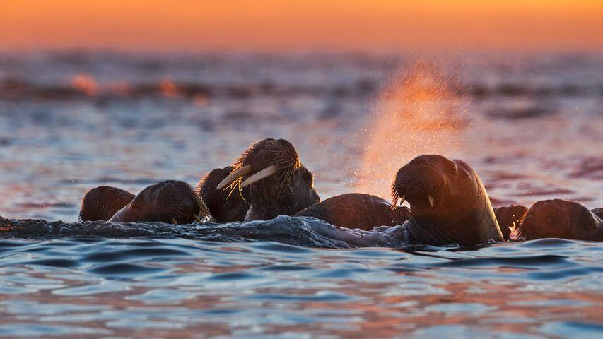 「セイウチの群れ」ノルウェー, スヴァールバル諸島, クヴィト島