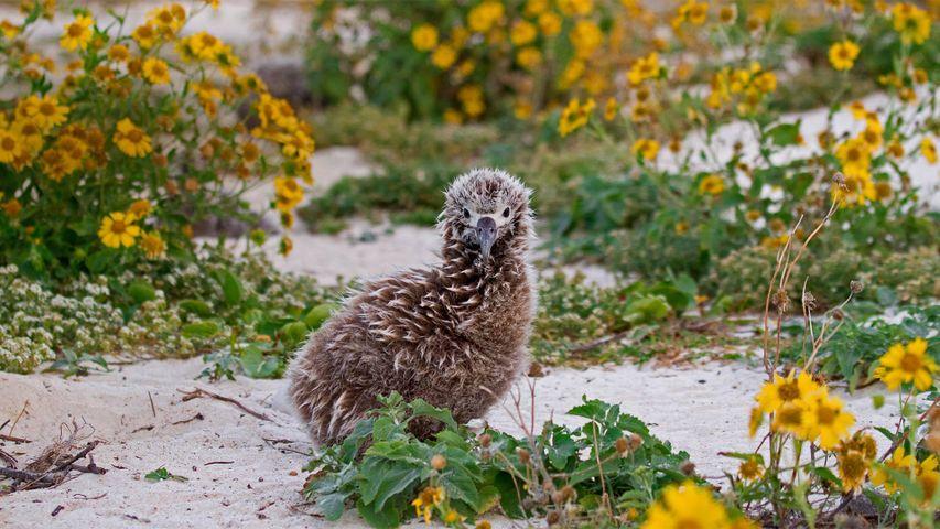 「コアホウドリの赤ちゃん」米国北西ハワイ諸島, ミッドウェー環礁