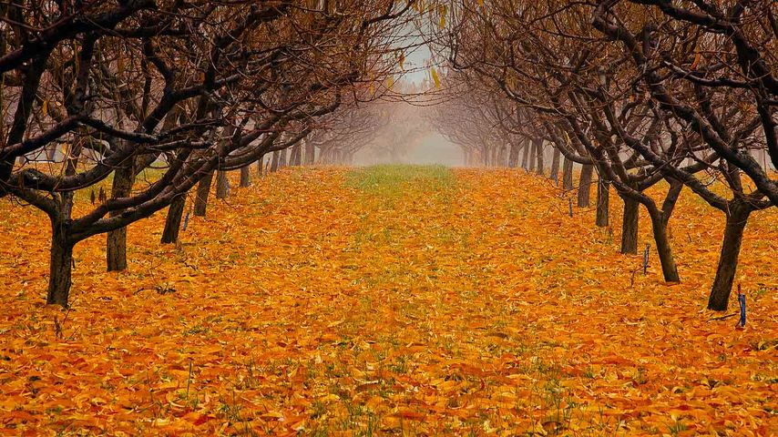 「梨園の秋」カナダ, ブリティッシュコロンビア州