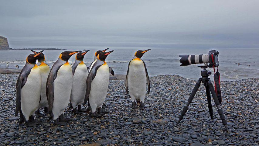 「キングペンギンとカメラ」サウスジョージア・サウスサンドウィッチ諸島, セント・アンドリュース湾