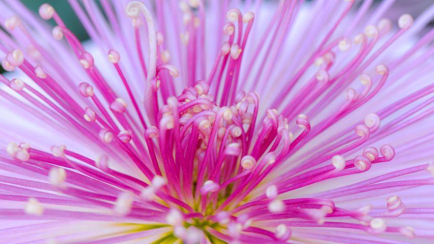 「管物菊」東京, 新宿御苑