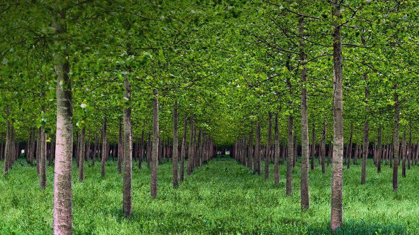 「ポプラの森」イタリア, パダノ・ベネタ平野