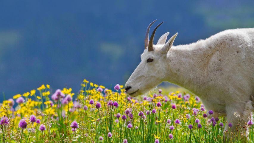「シロイワヤギ」米国, モンタナ州