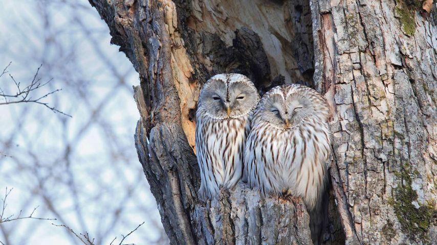 「ウラルフクロウのカップル」北海道