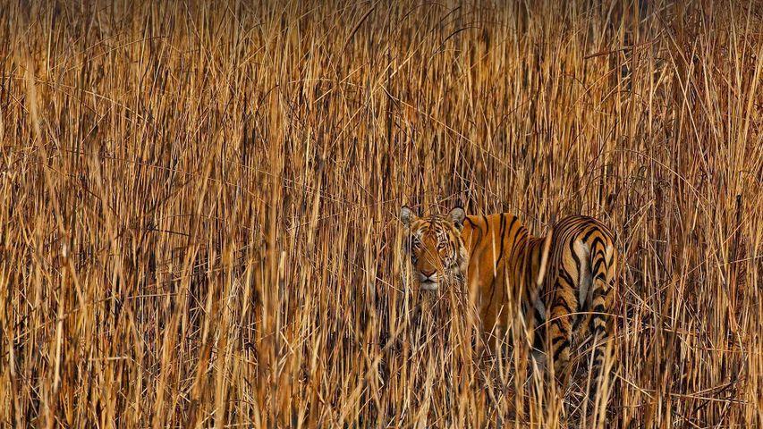 「草の間に潜むトラ」インド, アッサム州